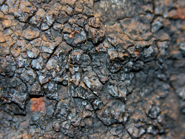 Chaga Mushroom used for making Chaga Tea